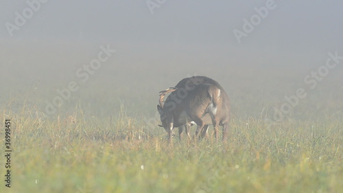 Two whitetailed deer bucks sparring in a foggy meadow