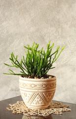 Rhipsalis - Kaktee, dekorativ
