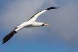 Nazca Booby Flying