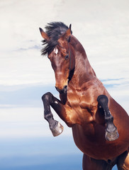 bay horse rearing at beautiful sky background