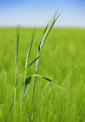 green wheat field