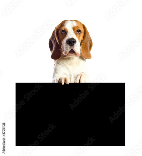 beagle  on a white background.
