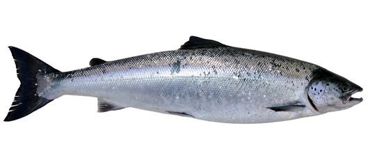 Baltic wild salmon isolated on white background