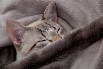 gatinho cinzento