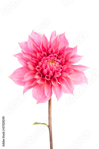 Fotobehang Dahlia Pink Flower