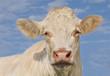 tête de vache vue de face