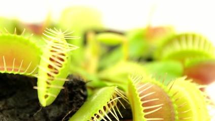 Venus flytrap (Dionaea muscipula), carnivorous plant