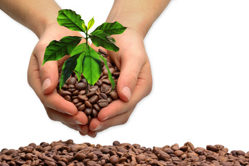 Hands with coffee tree, isolated