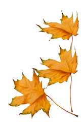 dried yellow maple leaves isolated on white background