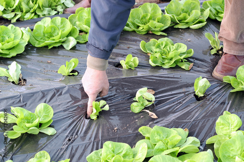 Organic Lettuce Growing in Greenhouse