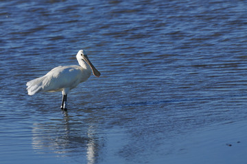 Eurasian Spoonbill hunting in shallow water