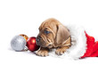 Young cute doggy and Christmas decoration