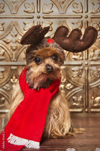 Yorkshire terrier dog dressed up as a reindeer