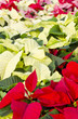 Colorful Poinsettias