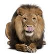 Lion licking lips, Panthera leo, 8 years old
