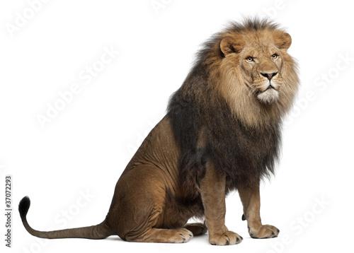 Lew, Panthera leo, 8 lat, siedzący