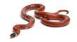 Leinwandbild Motiv Sinaloan milk snake, Lampropeltis triangulum sinaloae