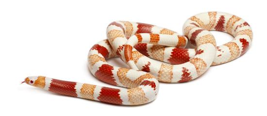 Albinos Honduran milk snake, Lampropeltis triangulum hondurensis
