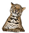 Leopard, Panthera pardus, lying in front of white background
