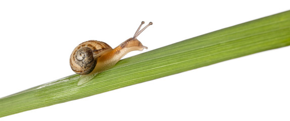 Garden snail on leaf, Helix aspersa