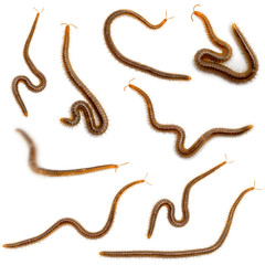Collage of centipedes in front of white background