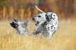 French Bulldog and Dalmatian dogs playing