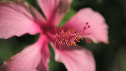 A pink flower with rack focus to pistol