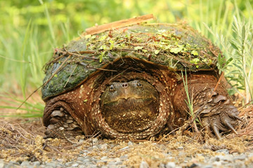 Female Common Snapping Turtle with Debris on Shell