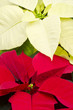 Red and White Poinsettia Closeup