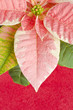 Pink Marble Poinsettia on Red Textured Paper