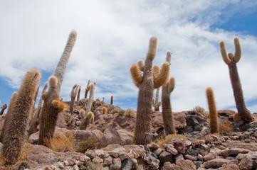 Cactus on Incahuasi island in Salar de Uyuni, Bolivia