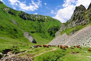 Vaches en liberté dans le Val de Courre, Auvergne, France