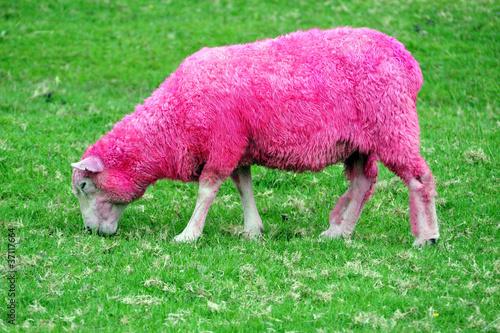 Fotobehang Nieuw Zeeland Pink Sheep