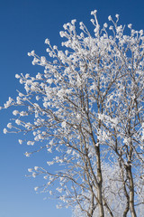 A crown of rowan-tree in winter with hoar-frost