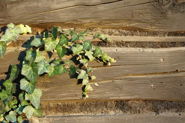 Structure of wooden beam with gnarl and ivy