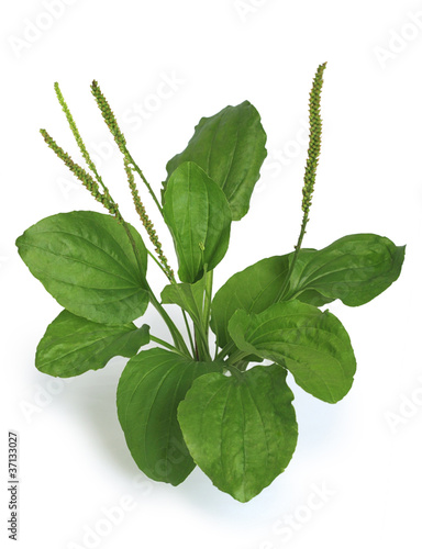 Greater Plantain (Plantago major)