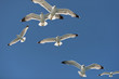 seagulls in flight blue sky in the fight for food