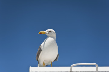 Seagull on Blue Sky Gliding in Wind