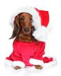 Dachshund puppy in santa hat on a white background
