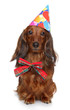 Dachshund puppy in party cone on a white background