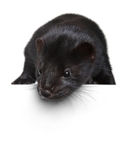Black mink lying on a white banner
