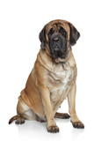 English Mastiff dog