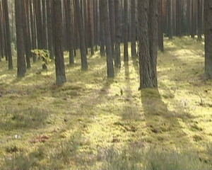 Mossy forest of pine ground and the sun penetrate through trees.