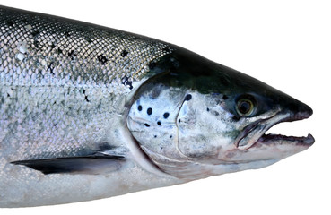 Wild salmon portrait isolated on white background