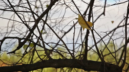 The yellow sheet which has got confused in branches