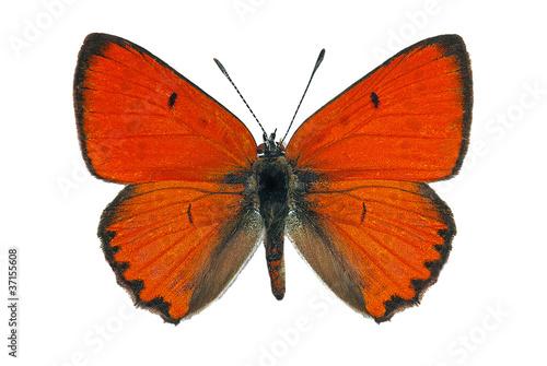 Fotobehang Vlinder Male of Large Copper (Lycaena dispar), endangered butterfly