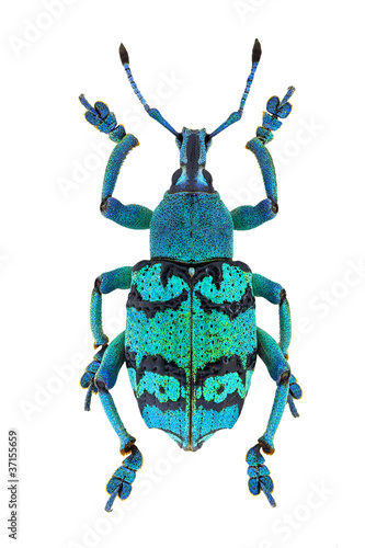 Eupholus schoenherri, a beautiful weevil from Papua New Guinea