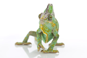 Chameleon on a white background