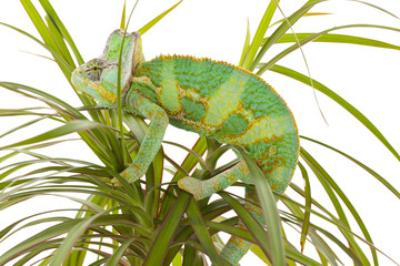 Chameleon perched on a palm tree
