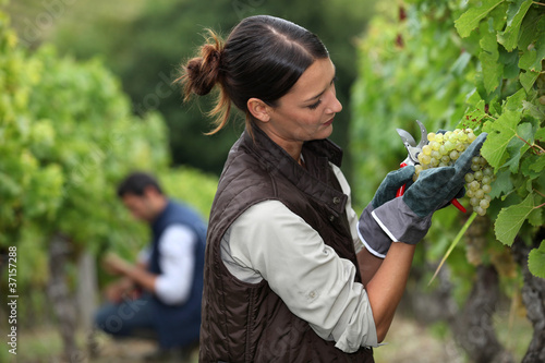 Woman harvesting grapes